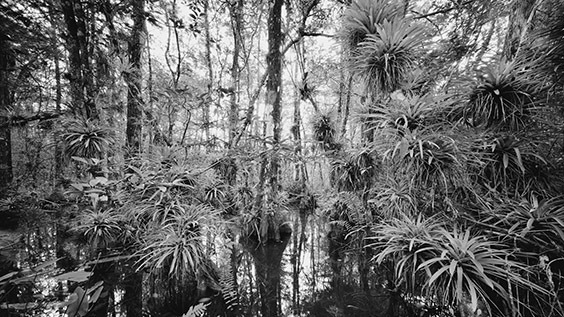 """Mysteriously named plants like Guzmania and Ghost Orchid enticed me to explore the Fakahatchee Strand. Studded with native Royal Palms and numerous tropical plants, which are found only in the Strand and Central America, the Fakahatchee is truly a remarkable place."" ‐ Clyde Butcher"