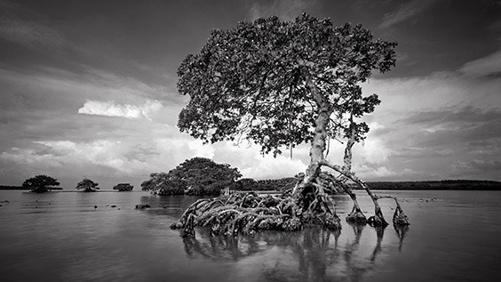 """I had been struck by this mangrove's sculptural beauty before, but the light hadn't been right to take a photograph. One summer morning everything came together. A survivor of Hurricane Donna in the 1960s, this mangrove was destroyed by Hurricane Andrew in 1992."" ‐ Clyde Butcher"