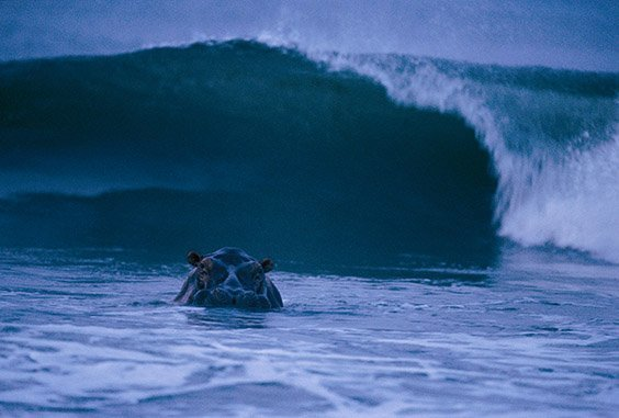"A hippo surfs off the coast of Gabon. ""Surfing hippos"" are extremely rare; most hippopotamuses wade in rivers and lakes. These animals became protected after 13 national parks were created as a result of conservationist J. Michael Fay's Megatransect."
