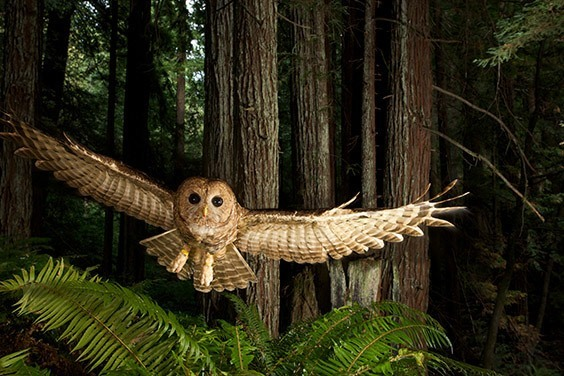 A tagged northern spoked owl swoops toward a researcher's lure in a young redwood forest.
