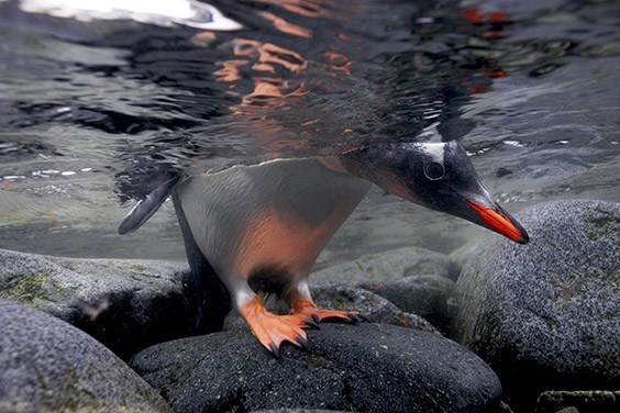 A gentoo penguin chick peeks under the ice to check for patrolling leopard seals before tempting fate.