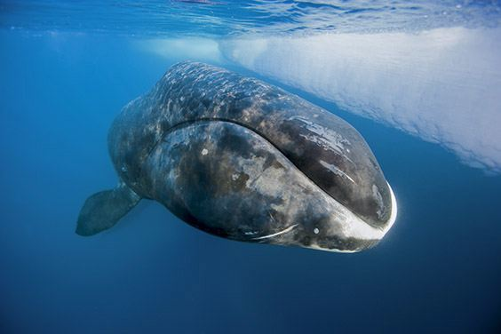 A bowhead whale surfaces from a long dive at the floe edge.