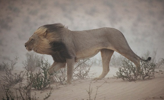 """South Africa, 1996 A lion pushes through a dust storm in Kalahari Gemsbok National Park, South Africa. The weather had worsened to the point that it didn't notice the photographer's approach. """"I shot three rolls of him and just one picture turned out — serendipity,"""" says Johns."""