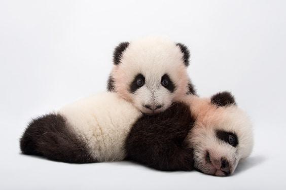 Vulnerable twin giant panda (Ailuropoda melanoleuca) cubs at Zoo Atlanta, Atlanta, Georgia